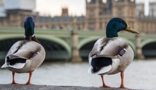 Wildlife on the River Thames