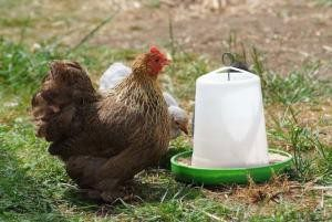 Visit the chickens in the farmyard