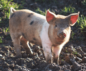 piglet on the farm
