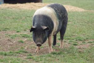 visit our pigs in the farmyard